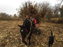 le filles sont venus aider pour ramasser du maïs !